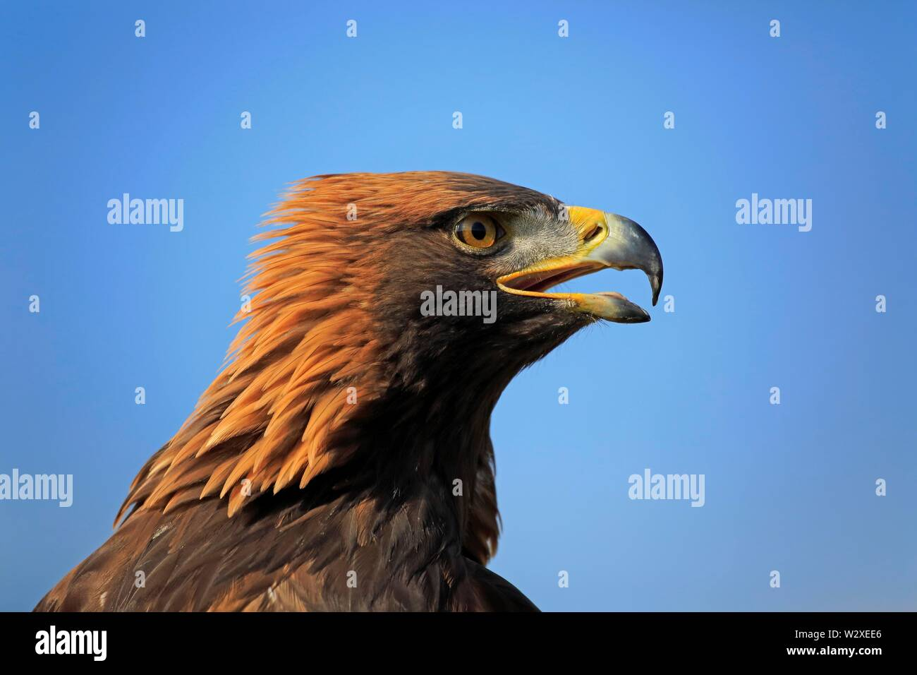 Golden eagle (Aquila chrysaetos), adult, calling, animal portrait, Slovakia - Stock Image