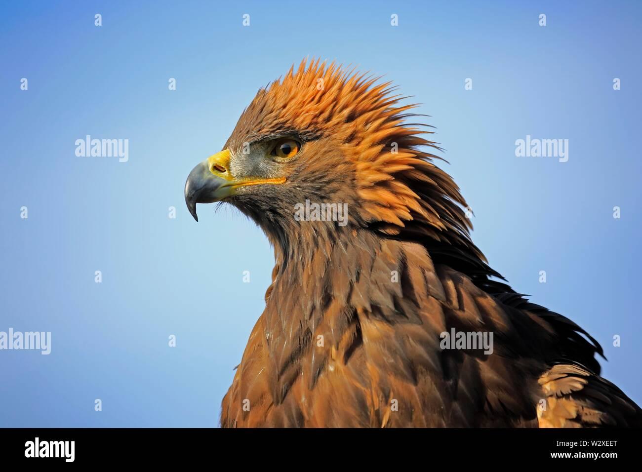 Golden eagle (Aquila chrysaetos), adult, animal portrait, Slovakia - Stock Image