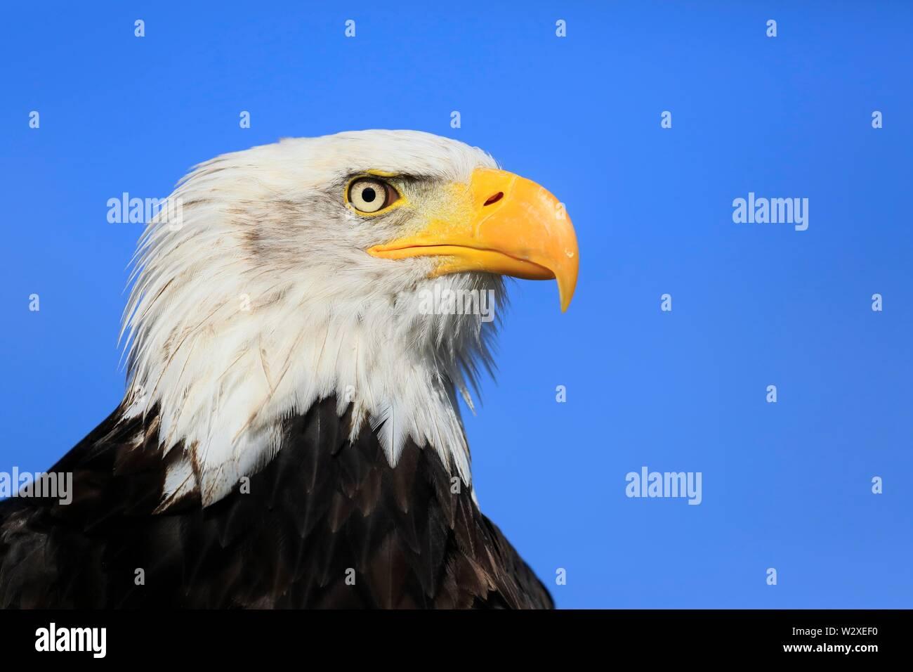 Bald eagle (Haliaeetus leucocephalus), adult, animal portrait, captive, Slovakia - Stock Image