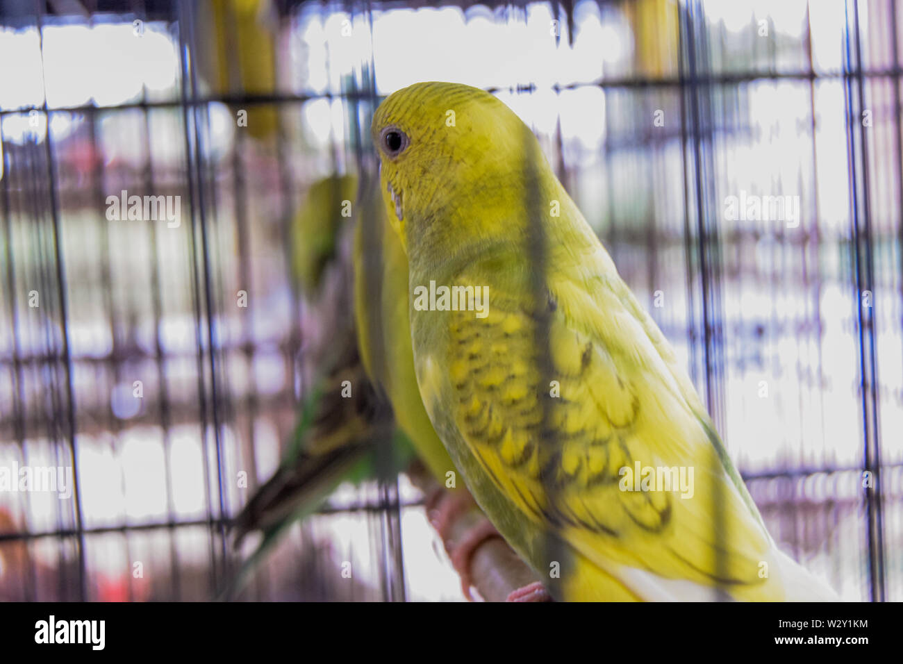 Green Parrot In Cage Stock Photos & Green Parrot In Cage
