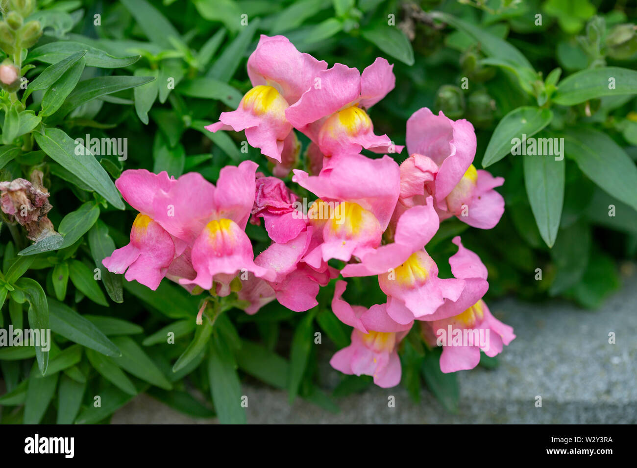 Snapdragons, Antirrhinum, dragon flowers - Stock Image