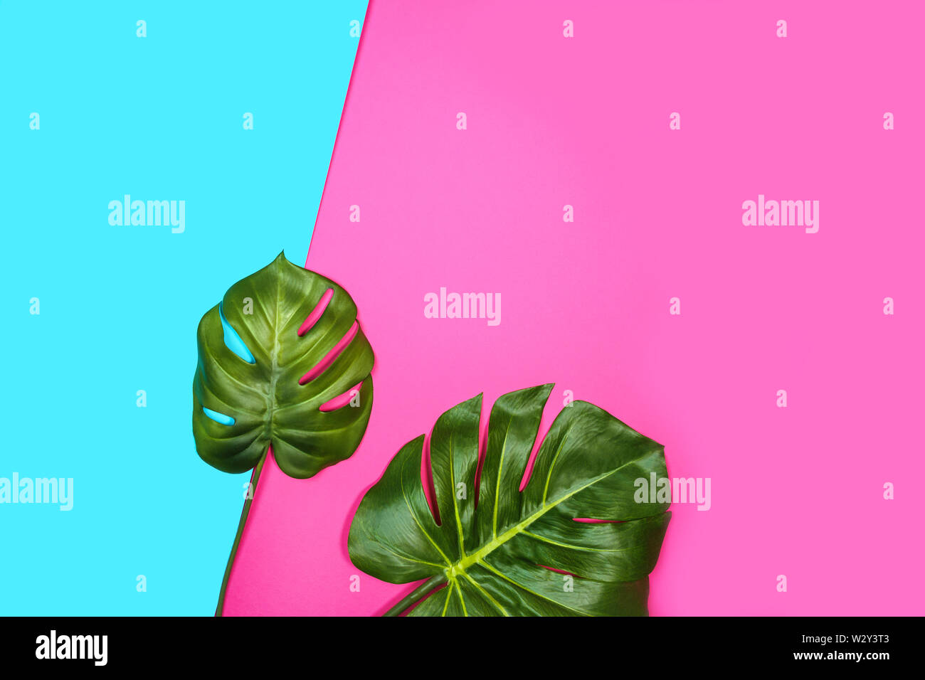 Tropical leaves Monstera, Swiss Cheese Plant, on pink blue background. - Stock Image
