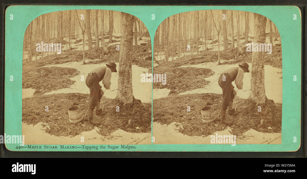 Maple sugar making Tapping the sugar malpes (maples), by Vermont Stereoscopic Company - Stock Image