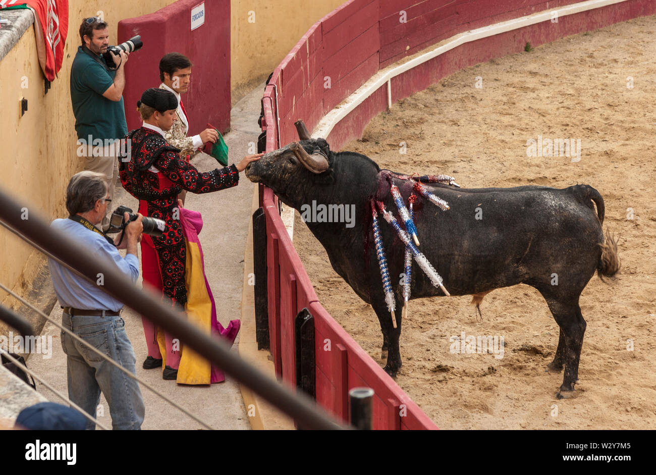 A passive bull with banderillas in its neck is stroked on its nose by a Matador during a lull in a bullfight. - Stock Image