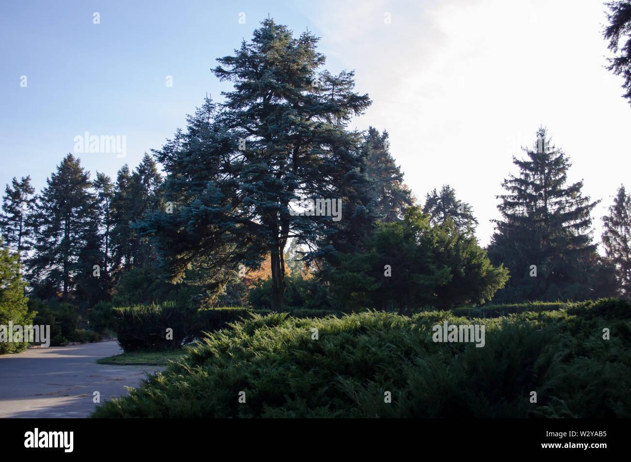 Beautiful conifers in the botanical garden. Coniferous kingdom. - Stock Image