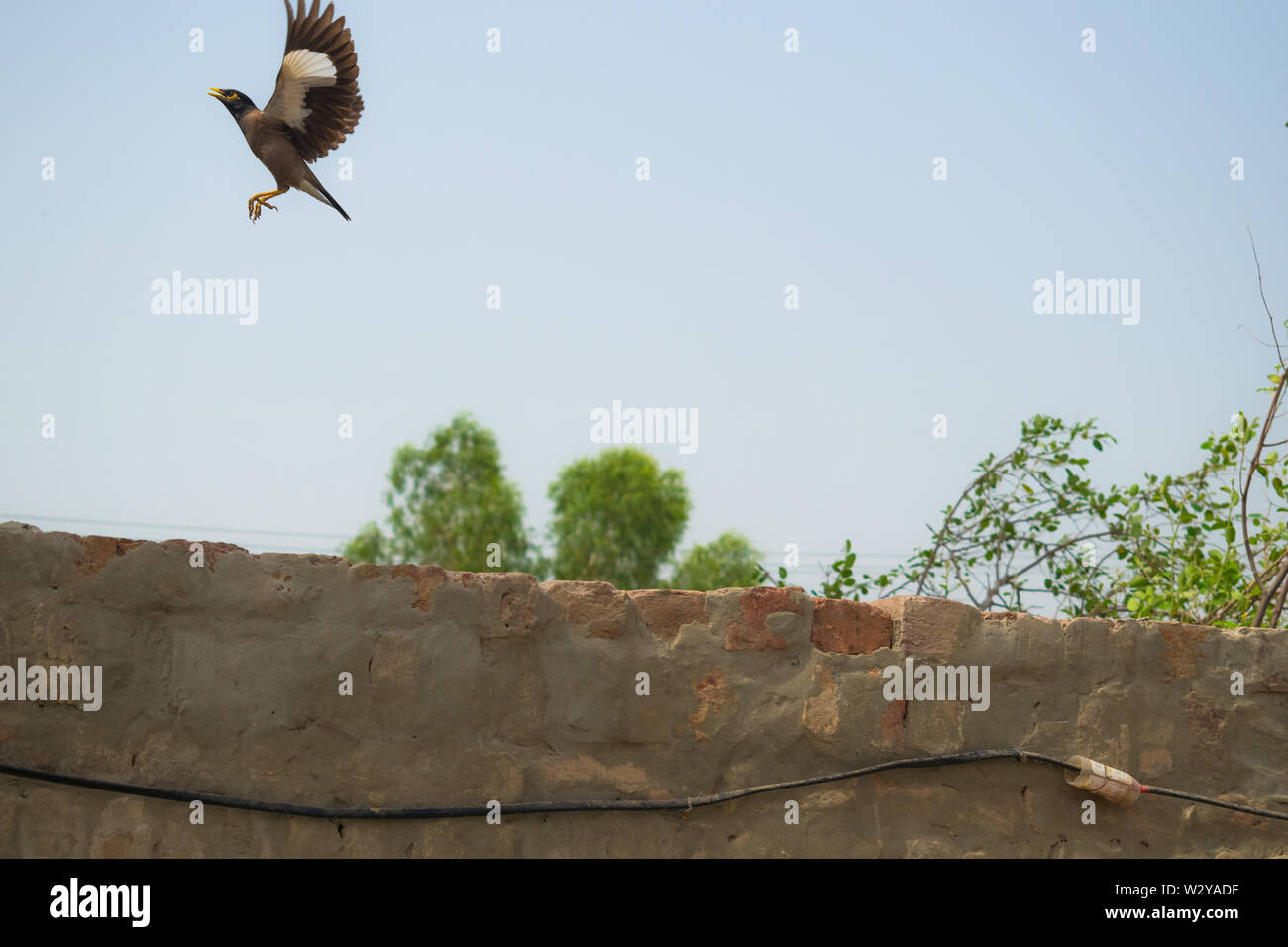 a starling flying in the air with blue sky background.flight of starling in the sky. Stock Photo