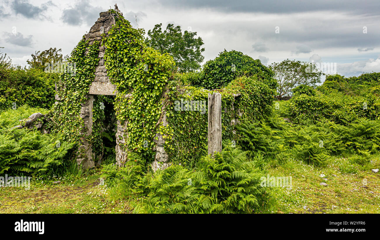 Ruined medieval house covered with plants in the middle of the meadow in Burren, geosite and geopark, Wild Atlantic Way, cloudy spring day - Stock Image