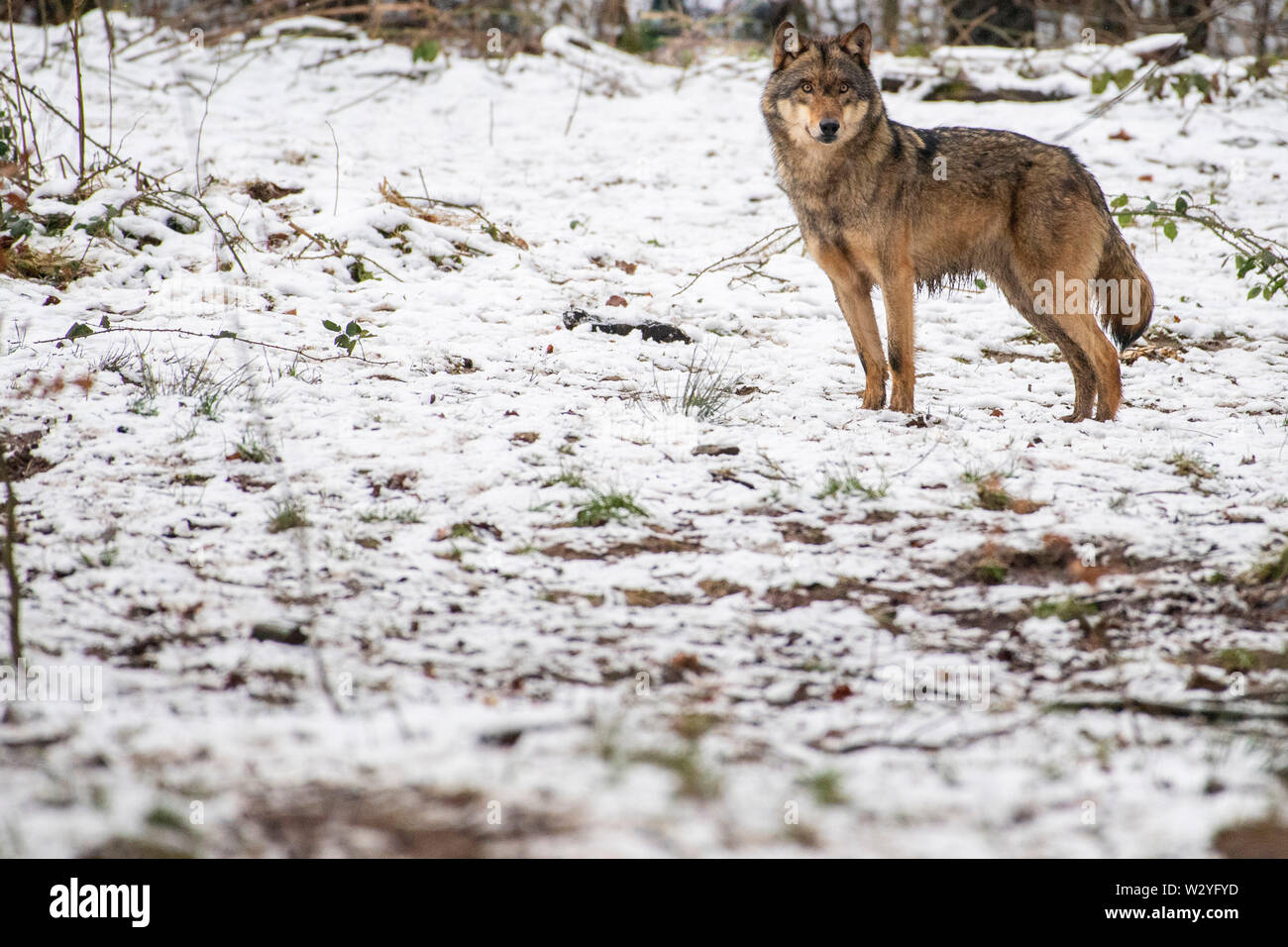 Wolf, Canis lupus - Stock Image