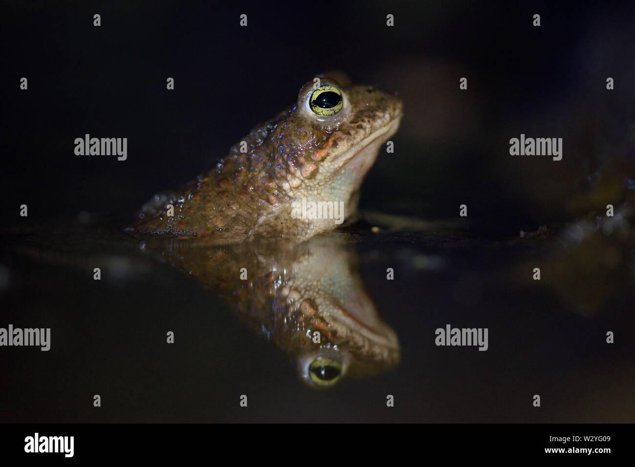 Natterjack toad, male, may, Duisburg, Ruhr Area, North Rhine-Westphalia, Germany,  (Epidalea calamita) Stock Photo