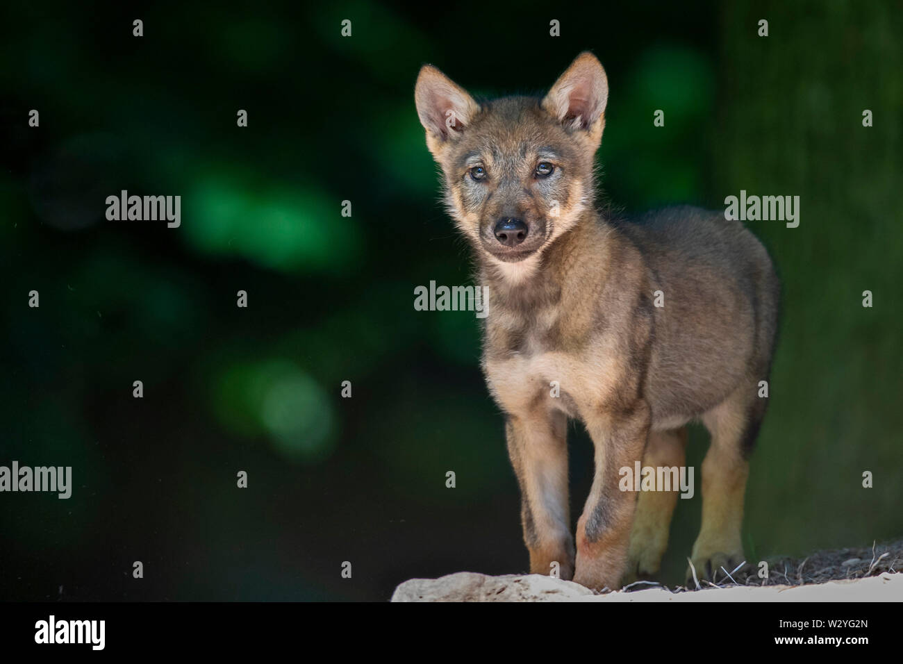 Wolf cub, Canis lupus - Stock Image
