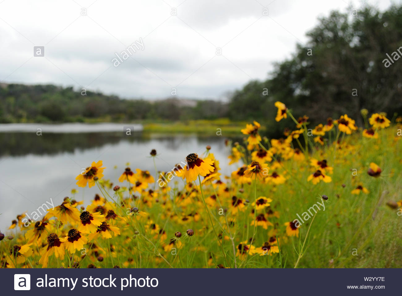 Soft Background. Yellow Wildflowers and Soft Background. Texas Hill Country Wildflowers and Pond with Blurred Background. Enchanted Rock Texas USA. - Stock Image