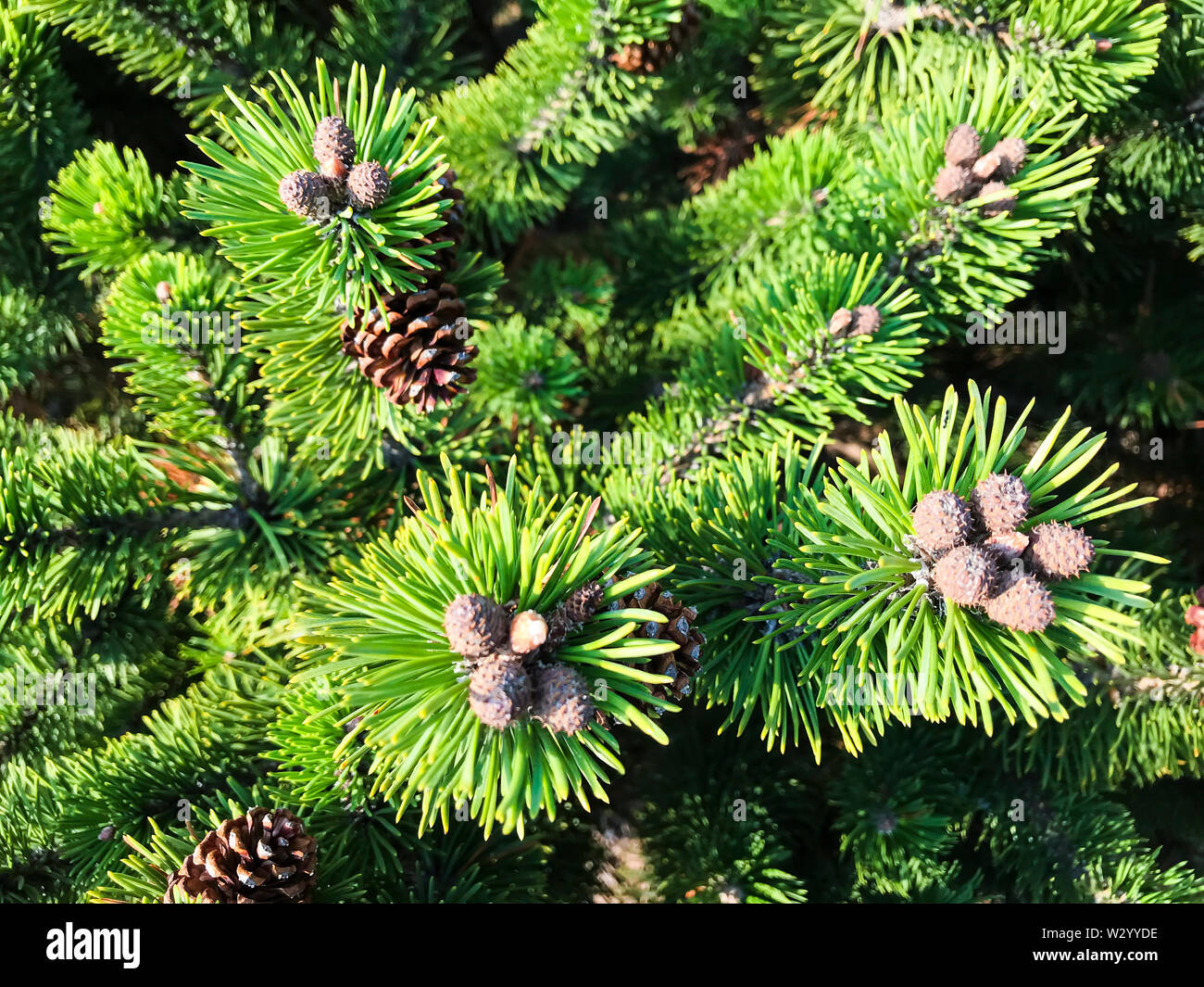 Branches of coniferous tree with cones - Stock Image