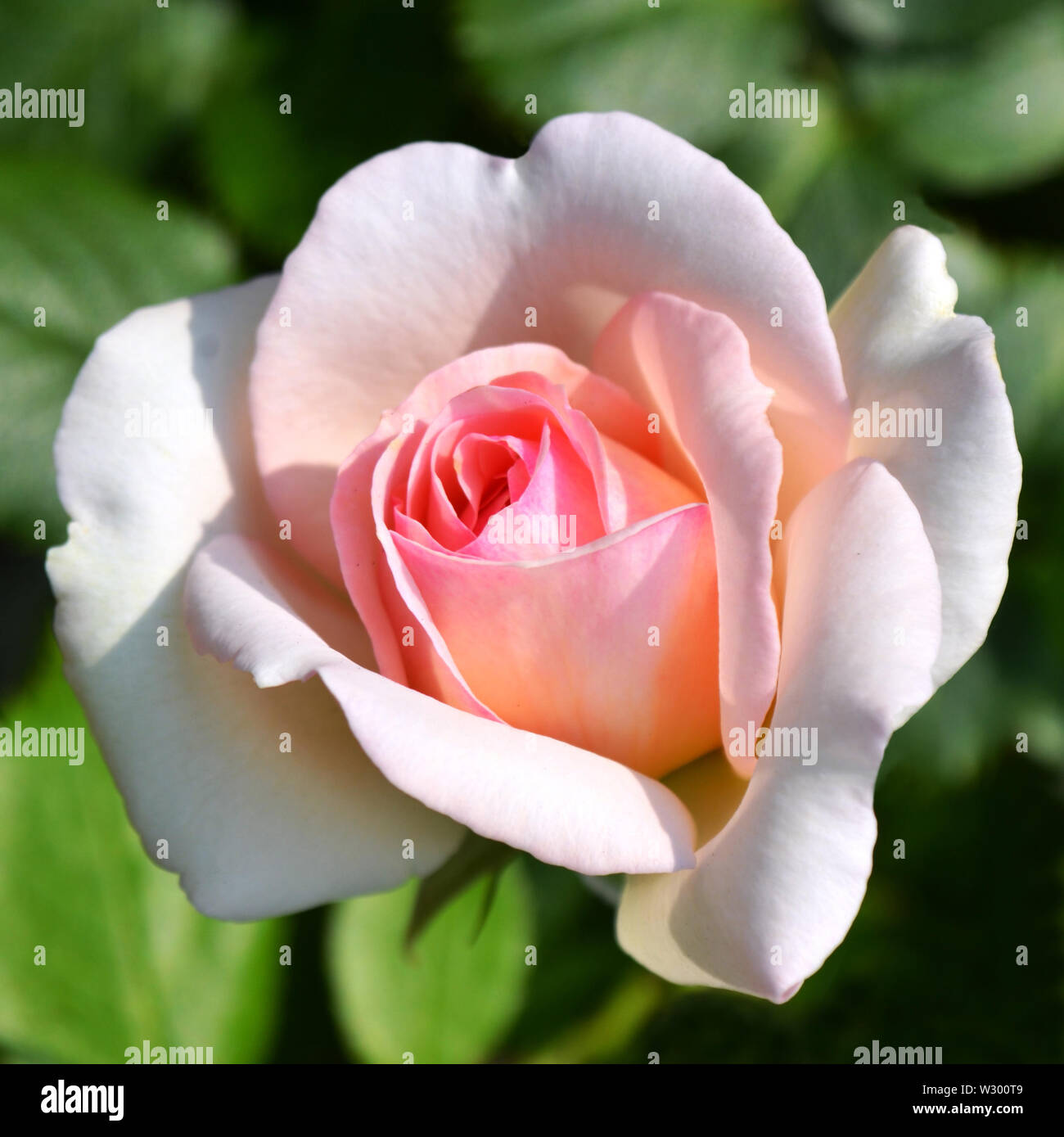Close-up view to beautiful pink rose flower blooming brightly illuminated under the sun on green background. Stock Photo