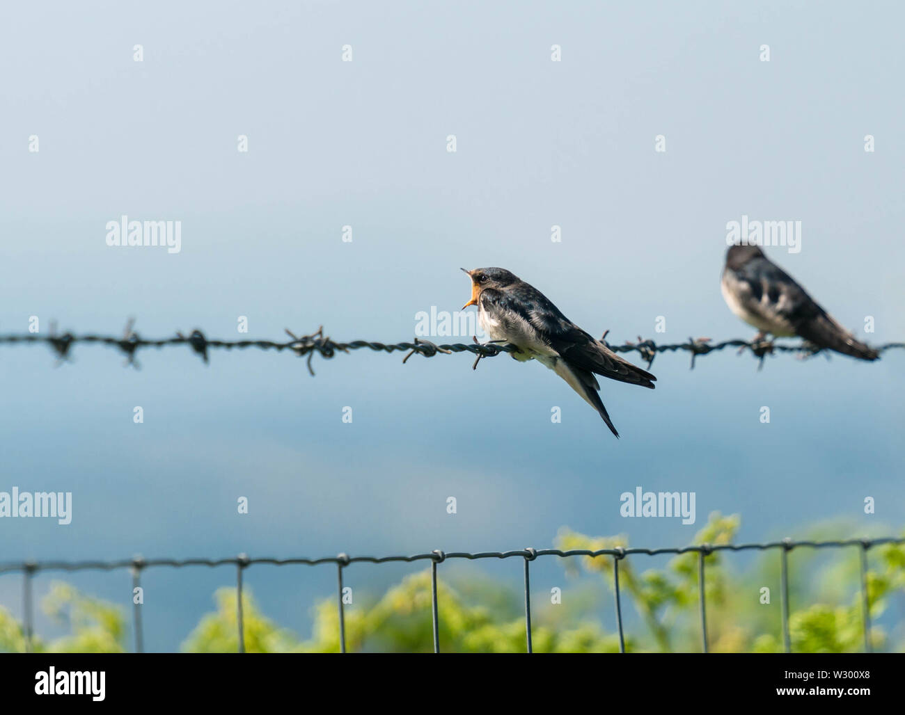 Immature Swallow (Hirundo rustica) with it's bill wide open waiting for a meal from It's parents. Kington Herefordshire UK. 2019 - Stock Image
