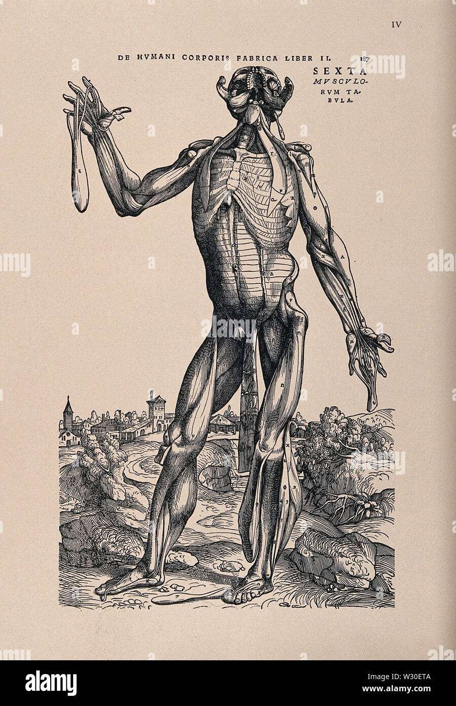Muscleman, in a landscape, seen from the front. Photolithograph, 1940, after a woodcut, 1543. r - Stock Image