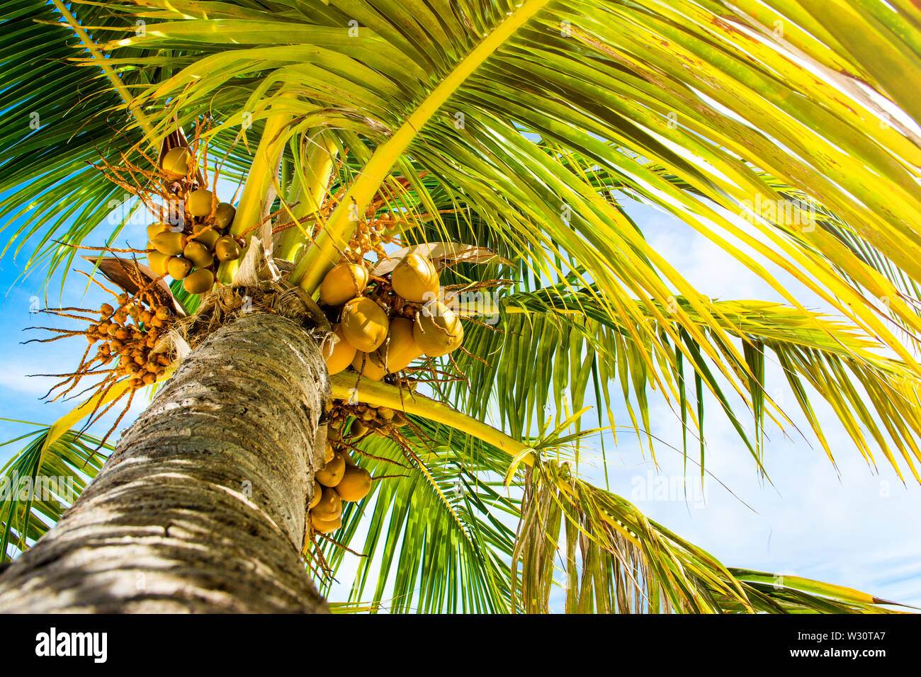 Palm trees with branches of coconut on the background of bright cloudless blue sky - Stock Image