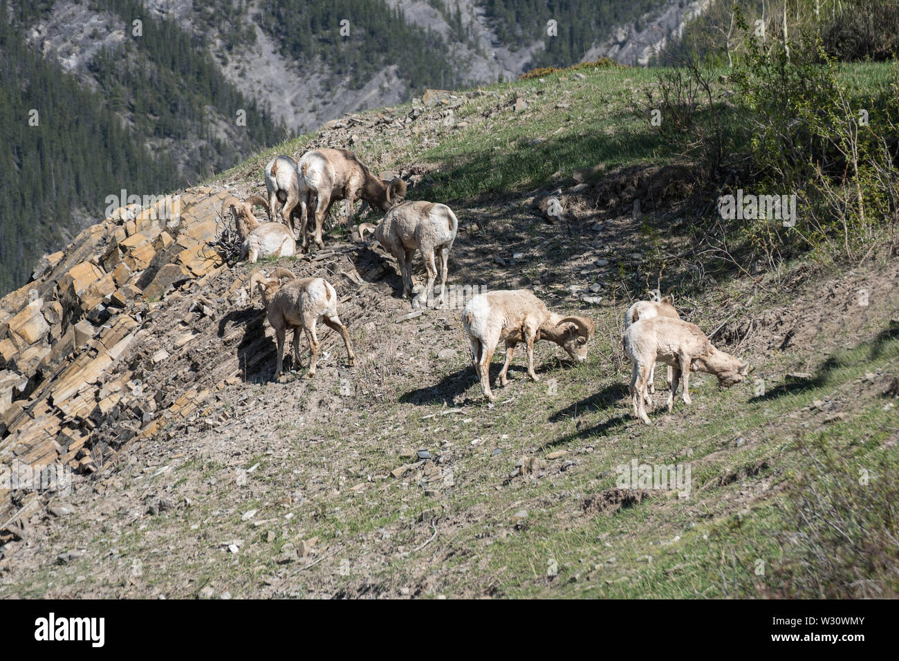 Bighorn Sheep in Banff National Park - Stock Image