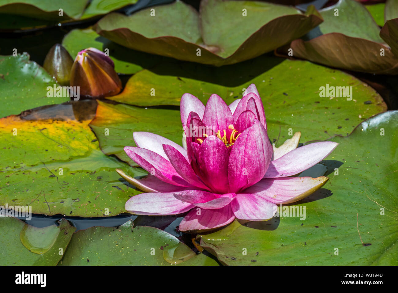 Pink cultivar of Nymphaea / water lily in flower in pond Stock Photo