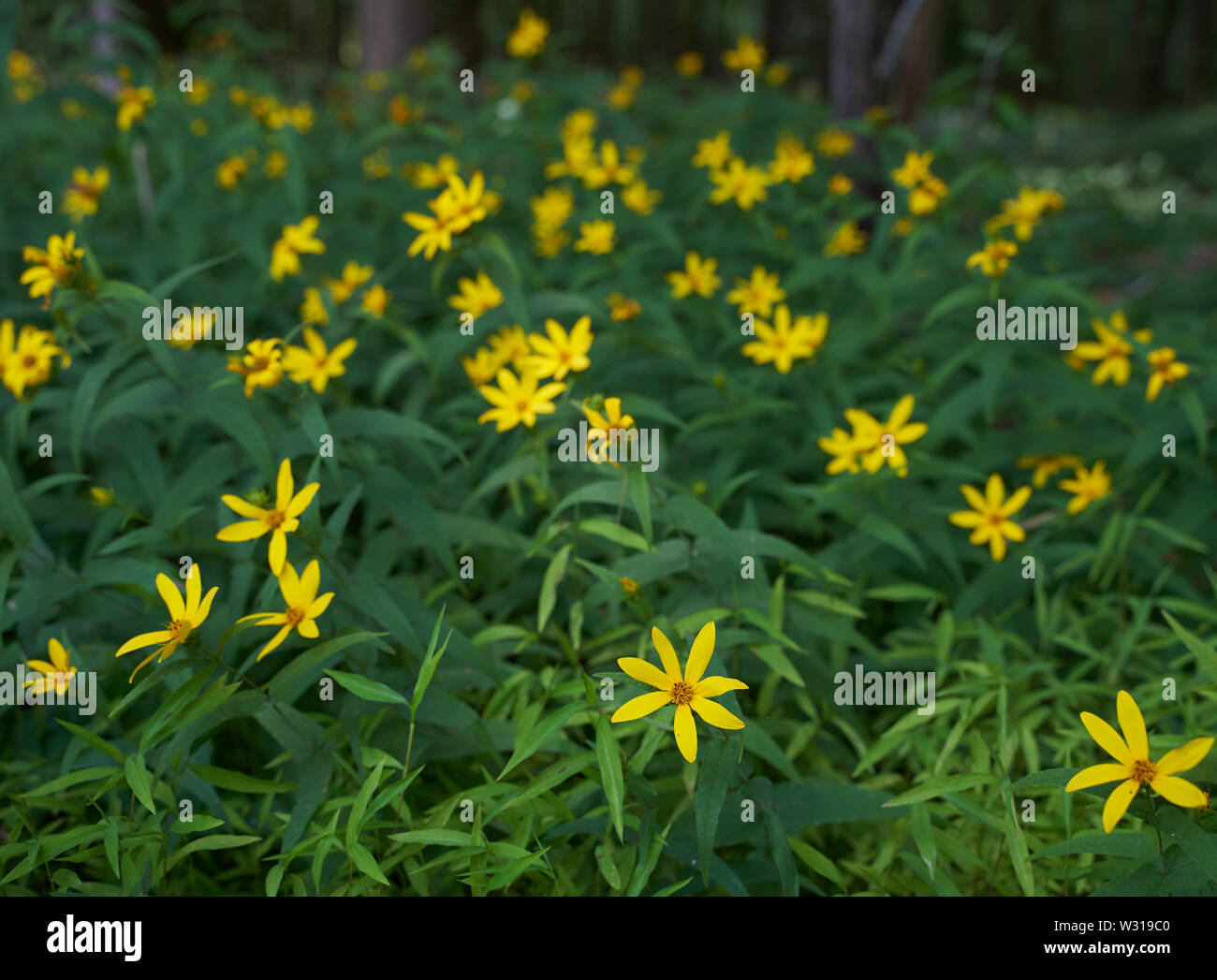 Helianthus microcephalus - Small Woodland Sunflower found along a  hiking trail at Horton Grove Nature Preserve in Durham, NC. - Stock Image
