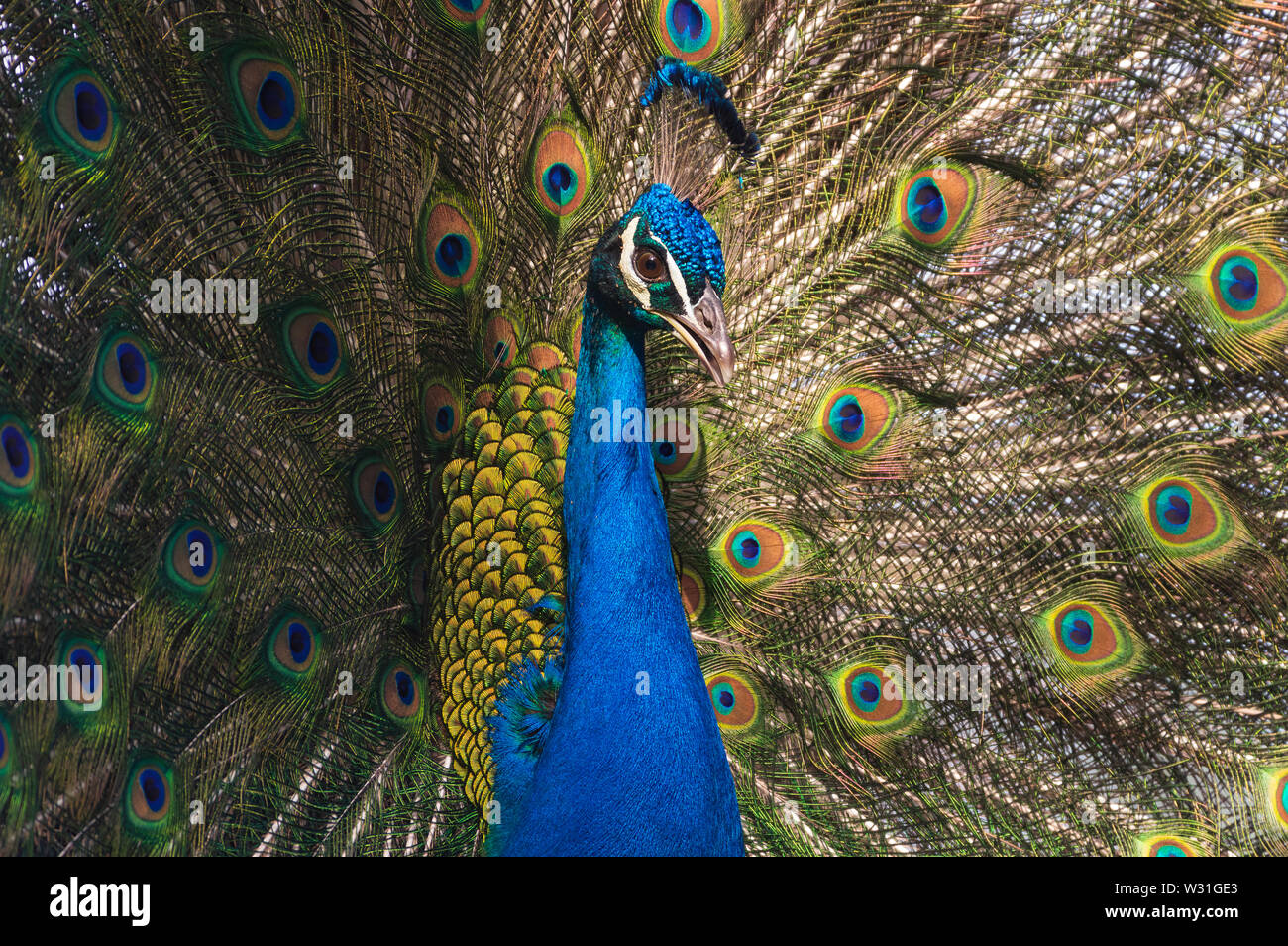 Image of a splendid Indian peacock (Pavo cristatus) fanning out its tail feathers. Stock Photo