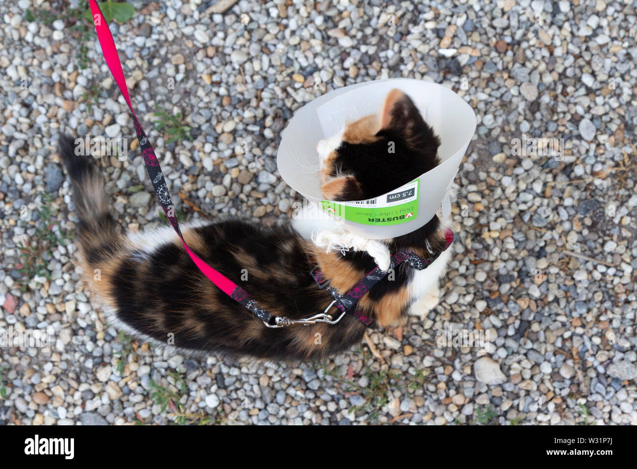 Young cat with protective collar on head top view Stock Photo