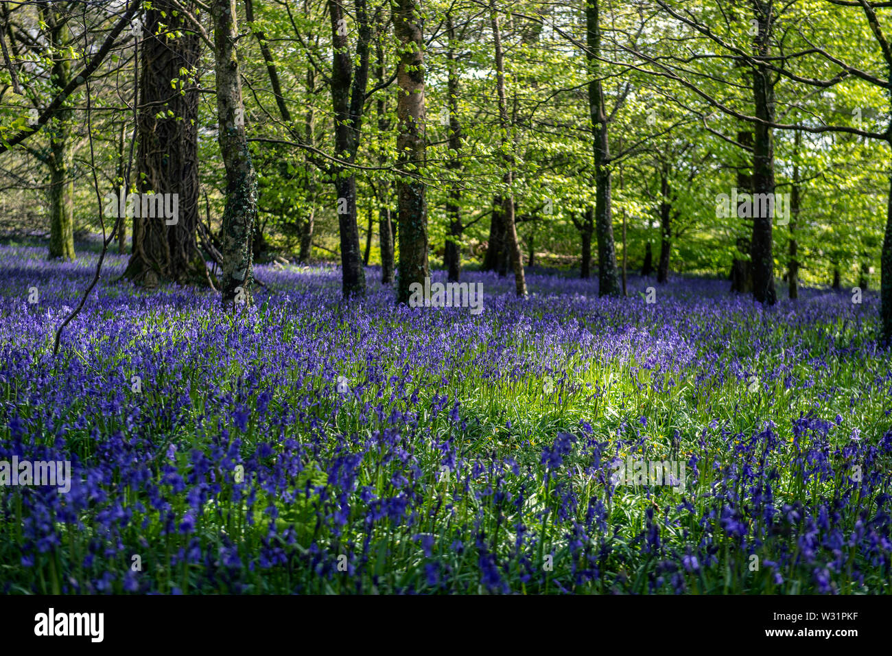 Bluebell woods in Cornwall, England, UK Stock Photo