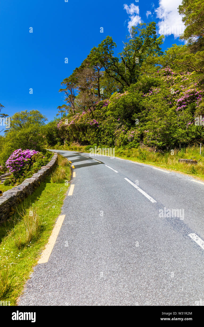 Irish road though spring rhododendron bushes in County Mayo Ireland - Stock Image