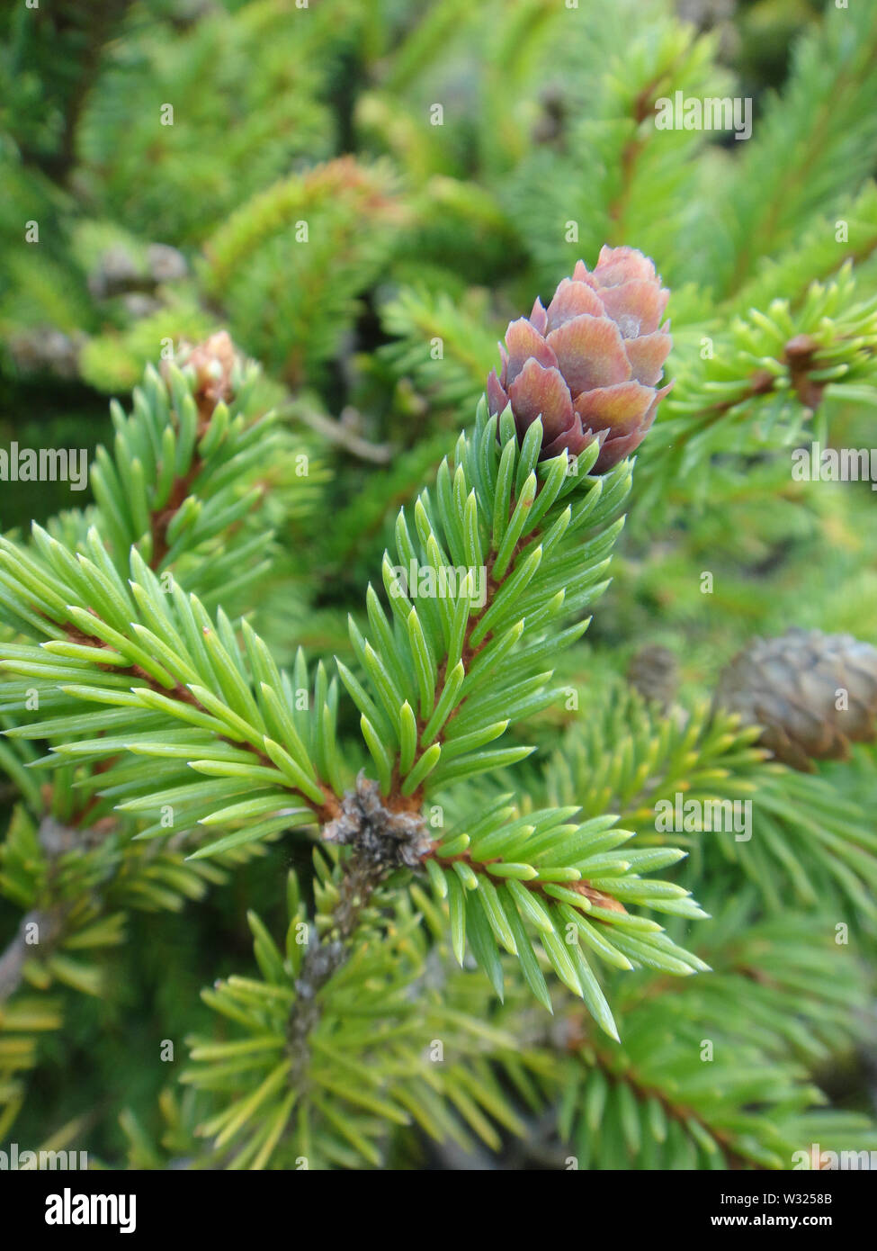 Pinus tree fruit macro background fine art in high quality products - Stock Image