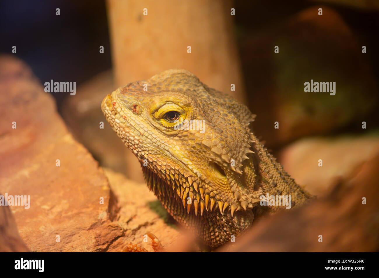 Bearded Dragon Pogona Close Up Face - Stock Image