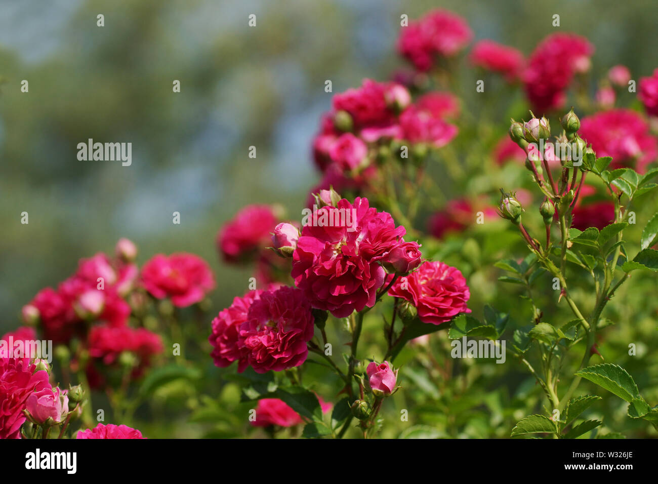 Pink roses lit by a warm summer sun against a beautiful green bokeh, abstract background, mosk up for your design. Many pink flowers close up. - Stock Image