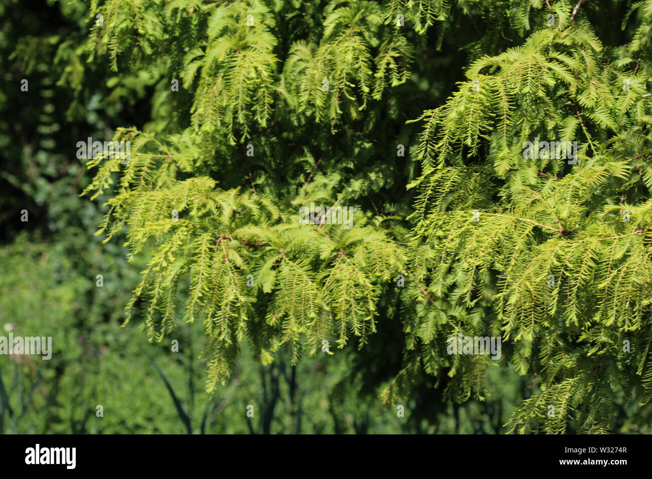 close up of Taxodium distichum (bald cypress) is a deciduous conifer - Stock Image