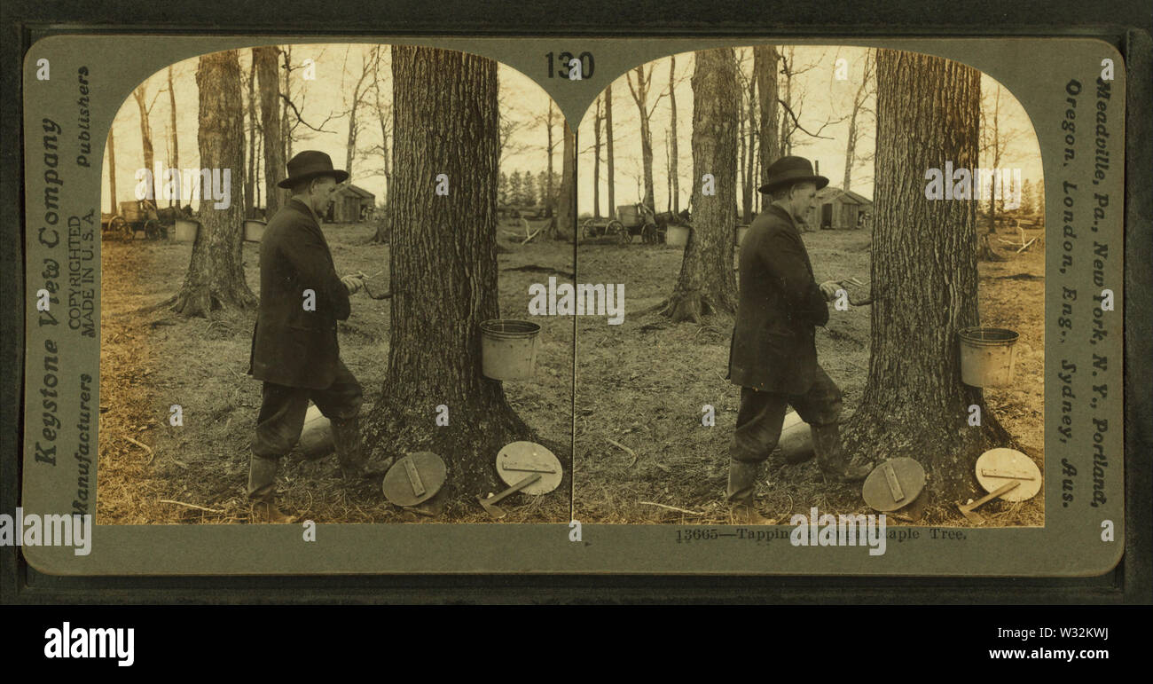 Tapping a sugar-maple tree, Ohio, by Keystone View Company - Stock Image