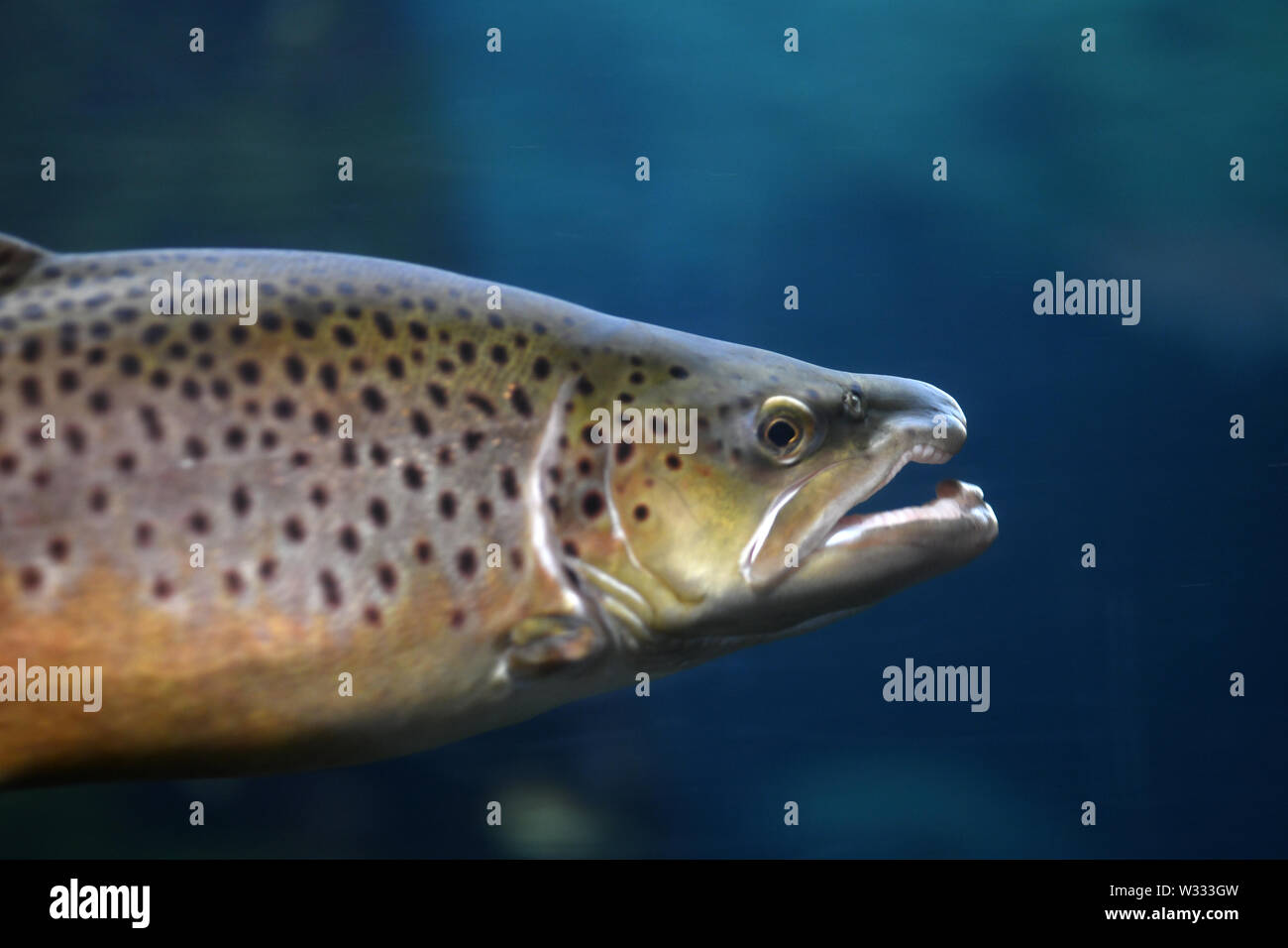 Underwater shot of brown trout (Salmo trutta), a European species that has been widely introduced into suitable environments around the world. - Stock Image