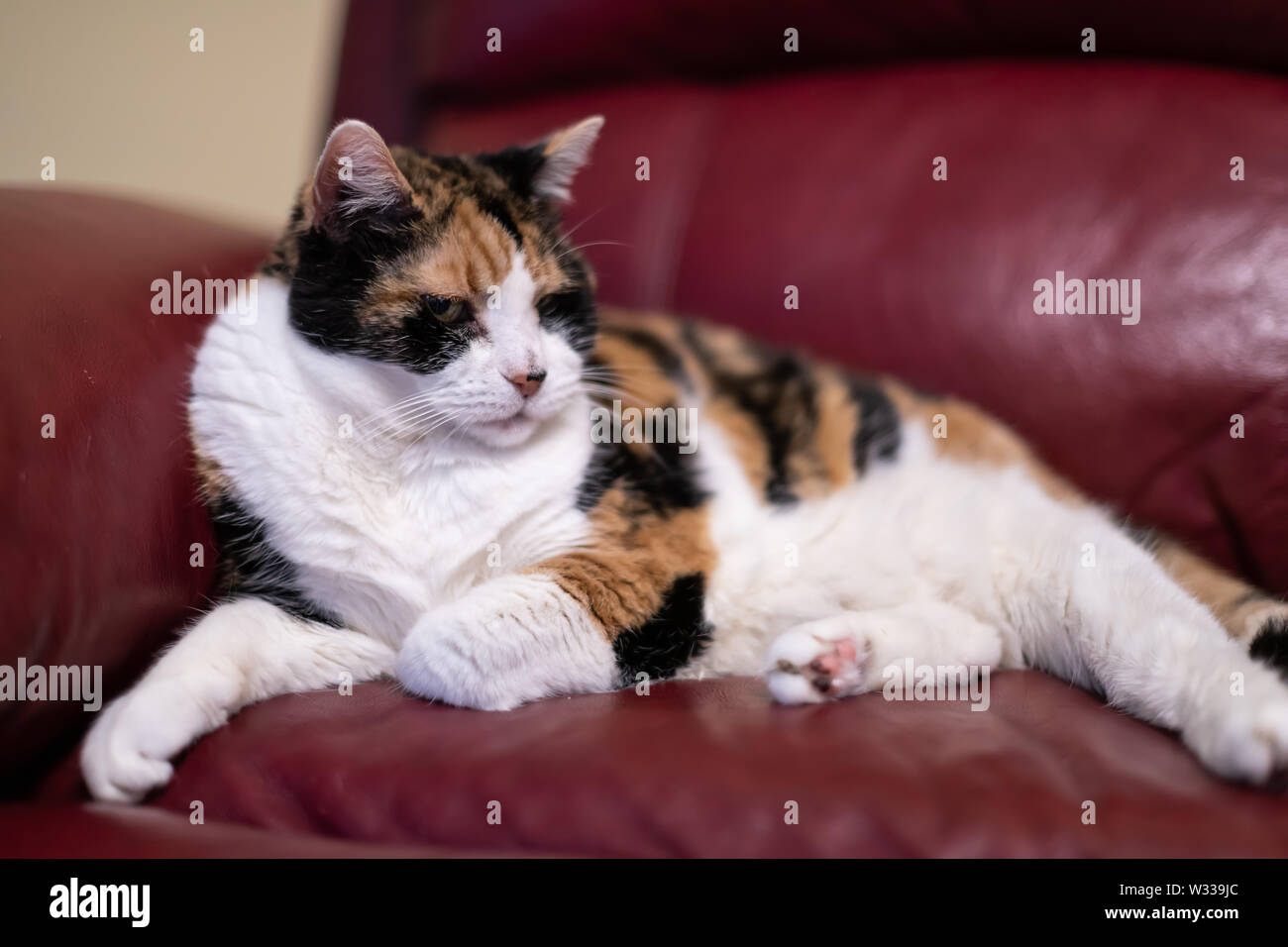 Closeup of senior old calico cat lying on living room red leather sofa couch in home corner, looking tired or annoyed - Stock Image