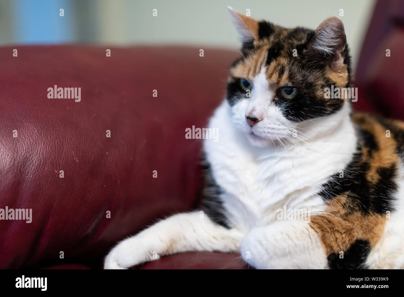 Closeup of senior old calico cat lying on red leather sofa or couch corner in home living room - Stock Image