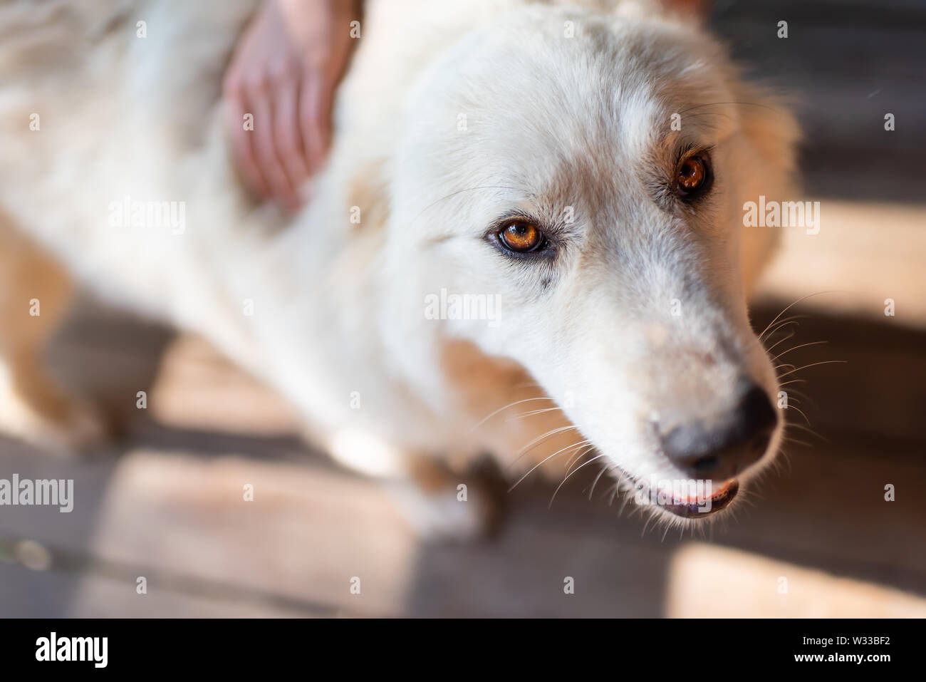Closeup of young white great pyrenees dog looking up with brown eyes and person owner petting touching back - Stock Image