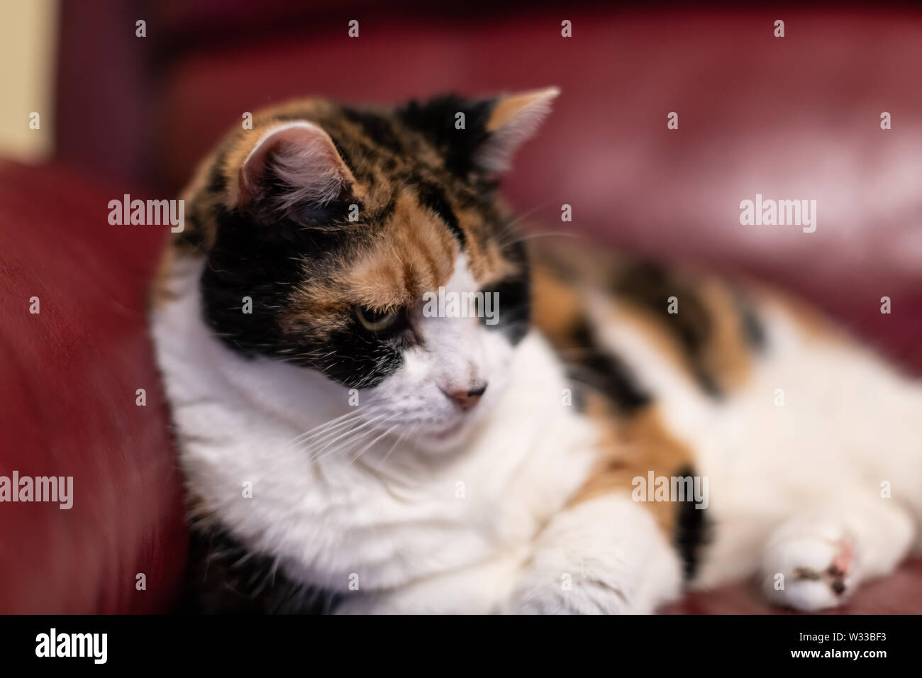 Closeup of senior old calico cat lying in living room on red leather sofa couch in home corner, looking tired or annoyed - Stock Image
