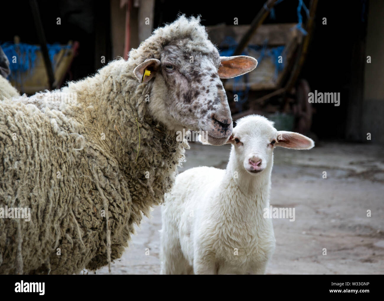 Baby lamb and mother sheep in the farm, looking at the camera. Close up of livestock family - Stock Image