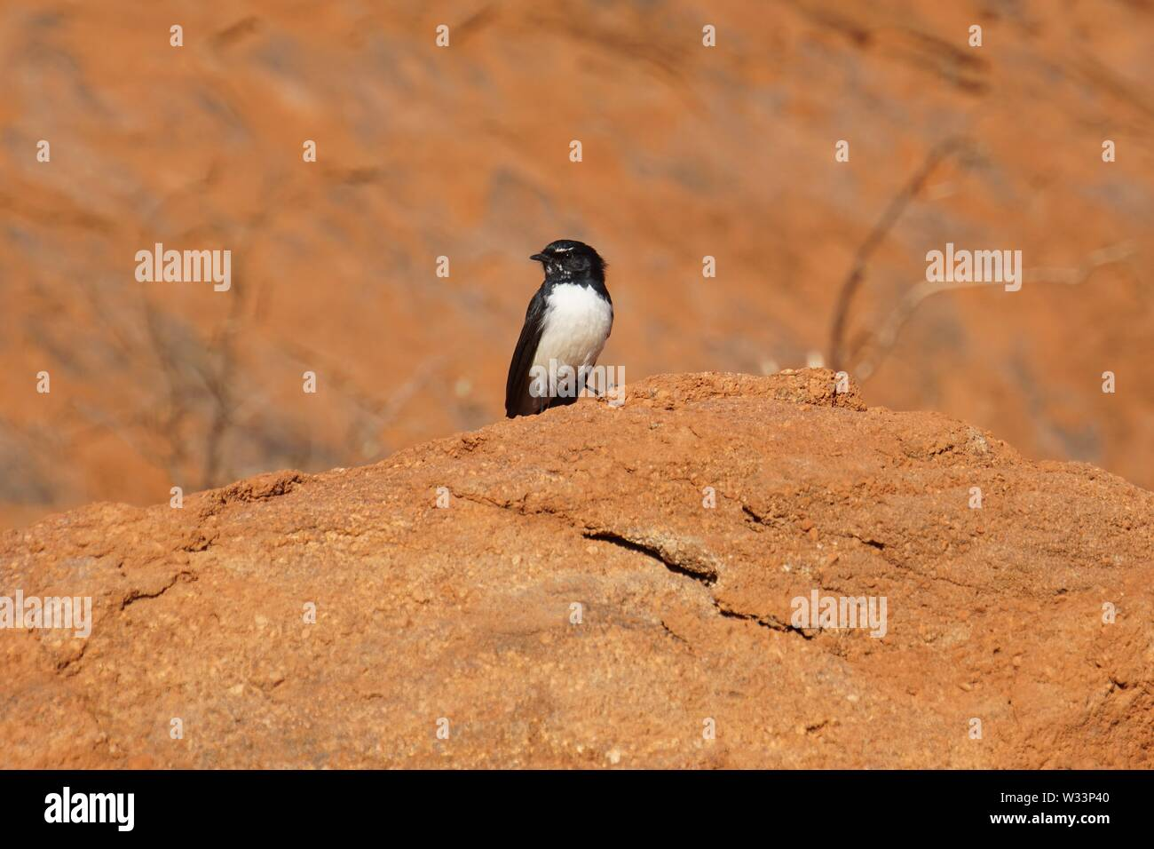 Bright-eyed, tiny black and white Willie Wagtail Bird perched on an Outcrop of Uluru - Stock Image