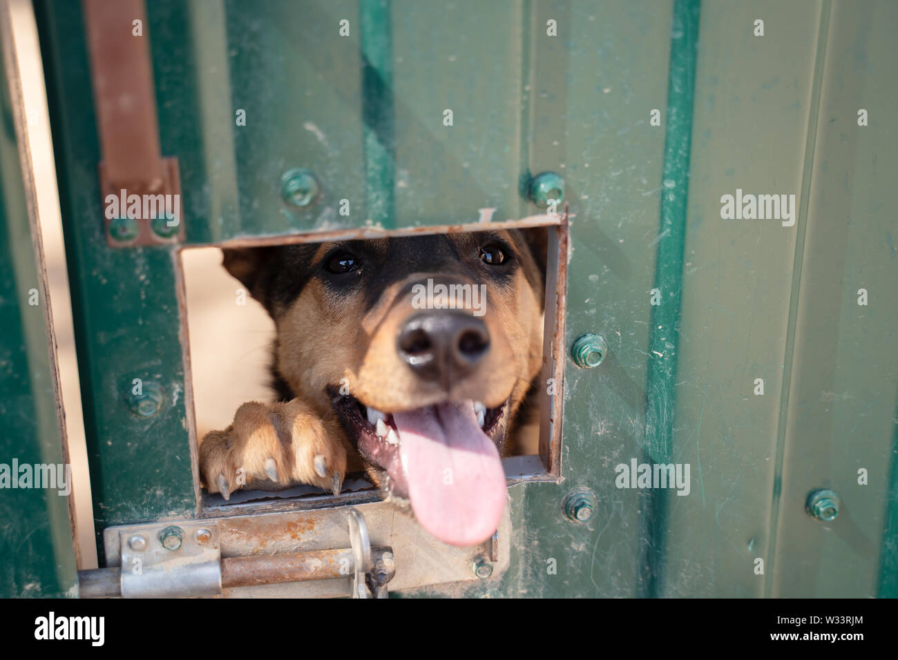 Photo of dog's face sticking out of window in fence in afternoon - Stock Image