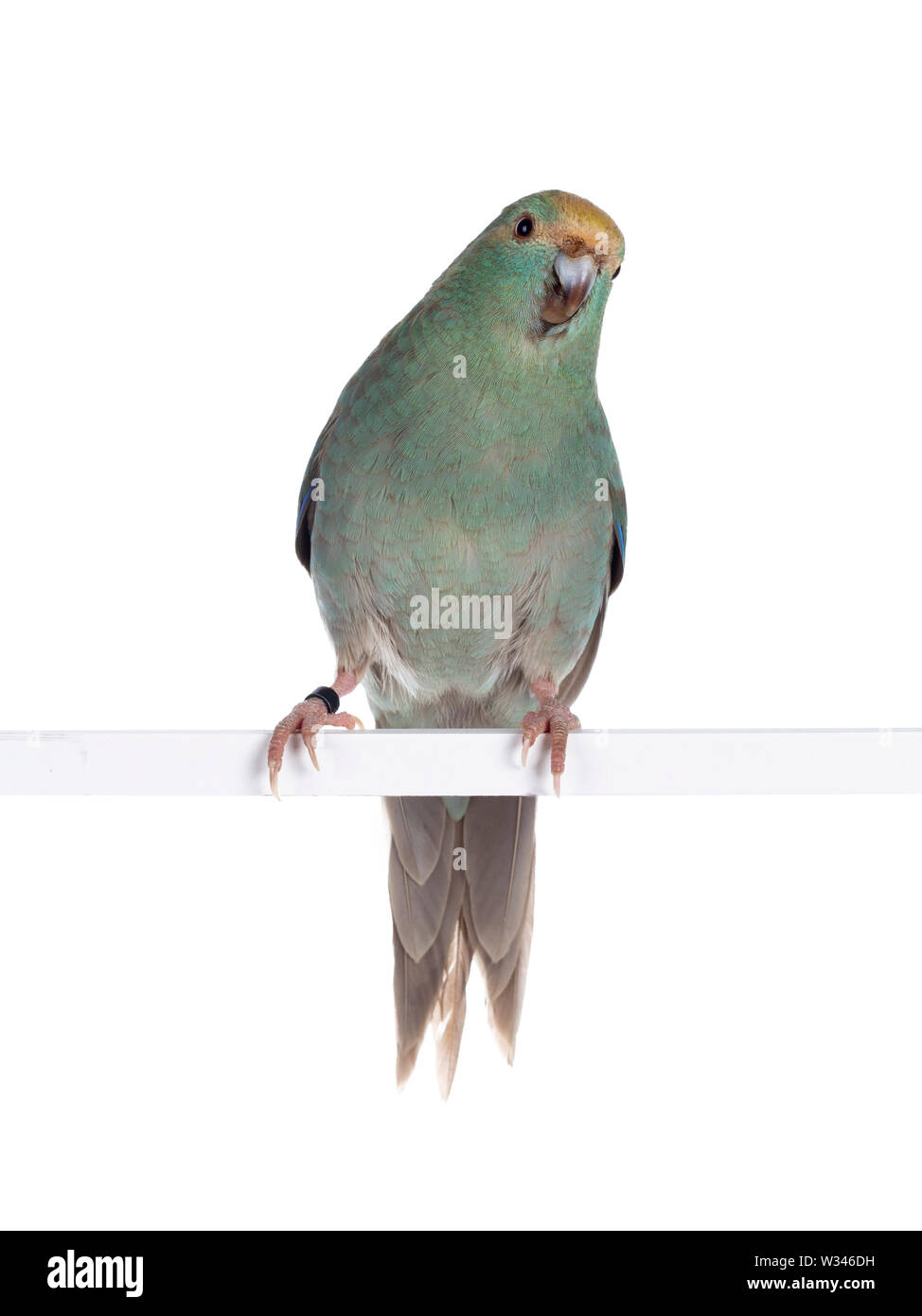 Curious turquoise Kakariki bird sitting on white rod, looking at camera with cute head tilt. Isolated on white background. - Stock Image