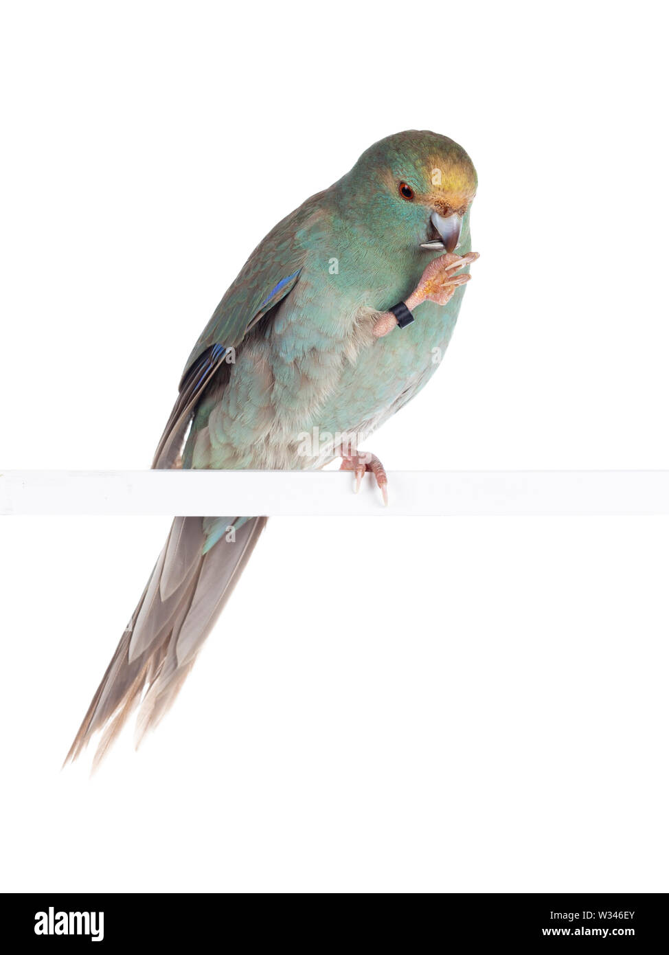 Curious turquoise Kakariki bird sitting on one claw on white rod with sunflower seed in beak, looking at seed. Isolated on white background. - Stock Image