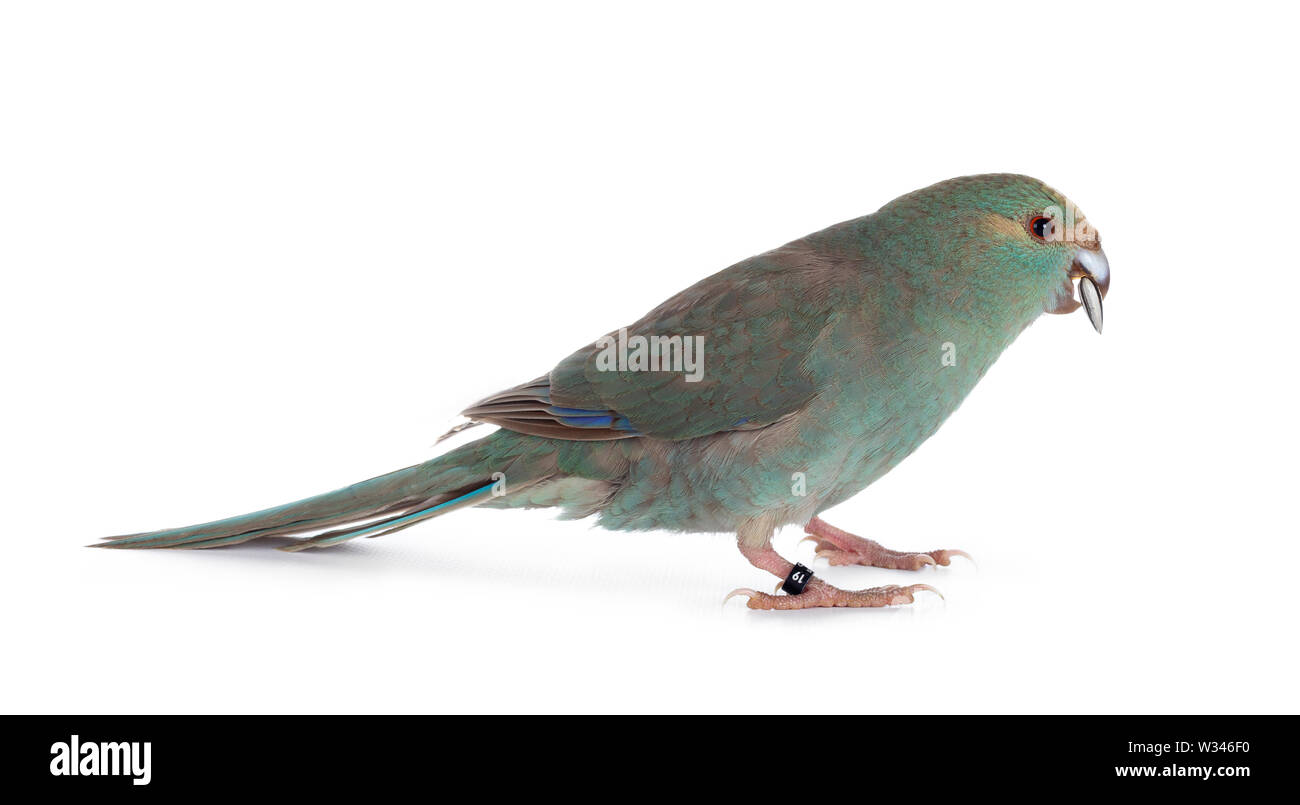 Curious turquoise Kakariki bird standing side ways with sunflower seed in beak, looking at camera. Isolated on white background. - Stock Image