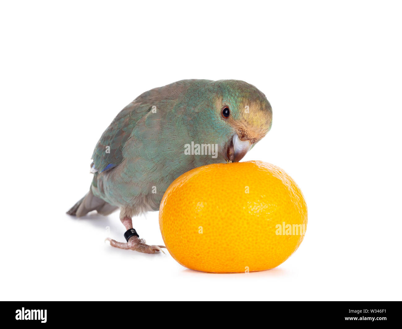 Curious turquoise Kakariki bird standing side ways playing with a mandarin, looking at camera. Isolated on white background. - Stock Image