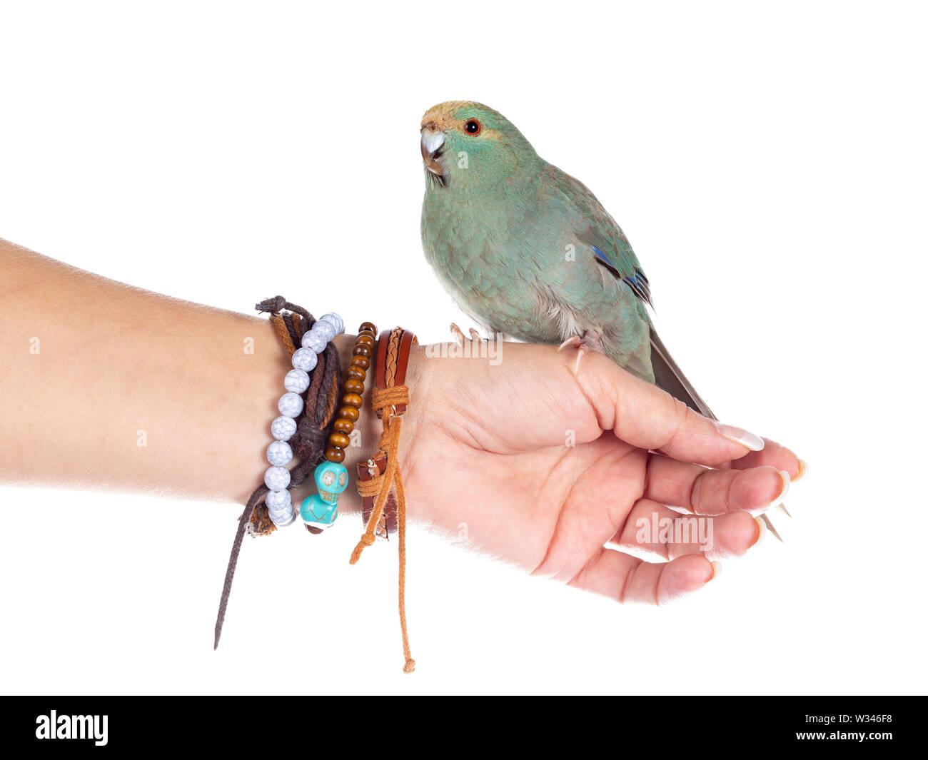 Curious turquoise Kakariki bird sitting side ways on human hand, looking at camera with cute head tilt. Isolated on white background. - Stock Image