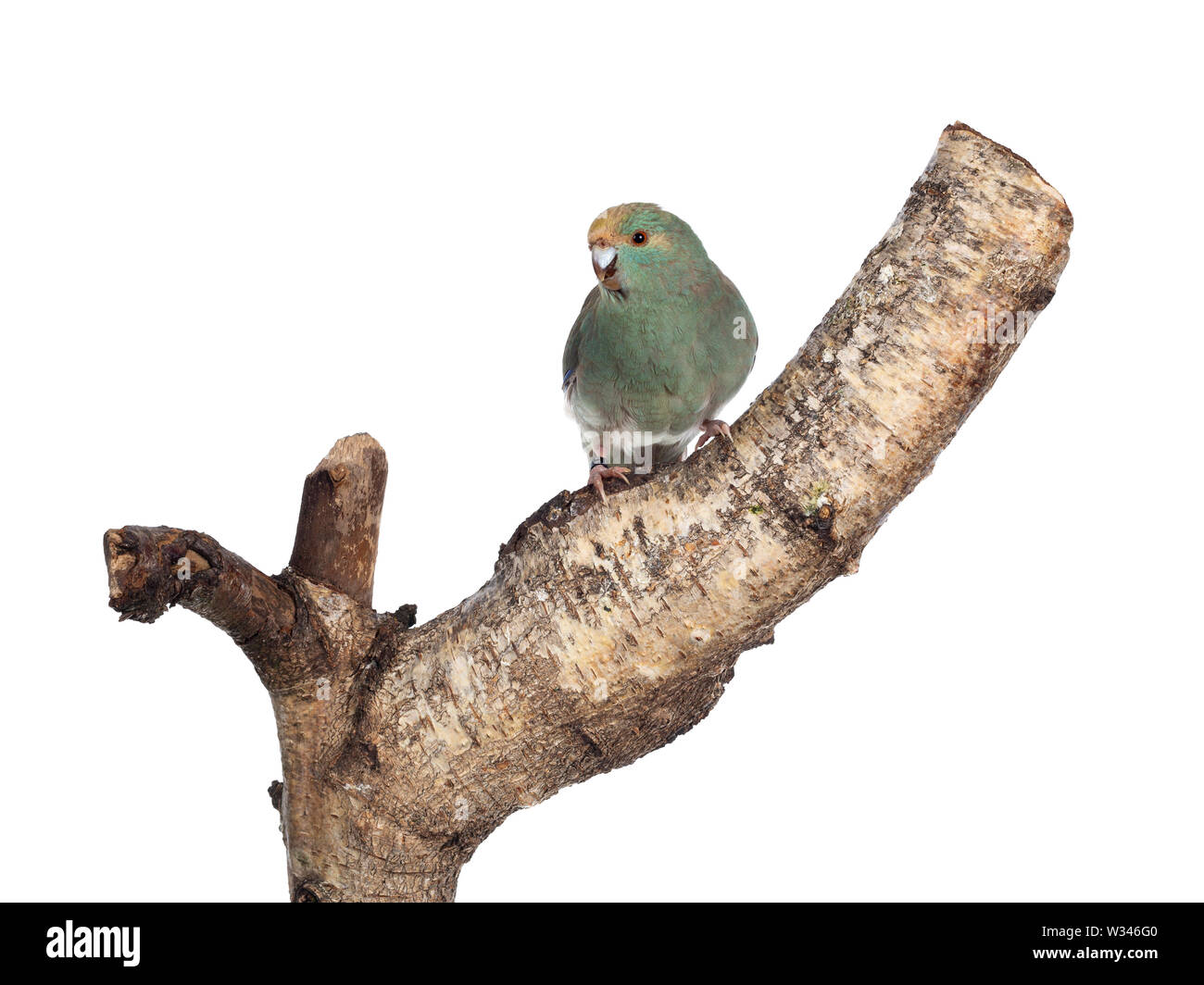 Curious turquoise Kakariki bird sitting on piece of wood, looking at camera with cute head tilt. Isolated on white background. - Stock Image