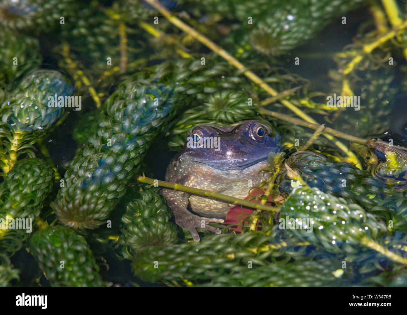 COMMON FROG, Rana temporaria, in garden pond, Lancashire, UK - Stock Image