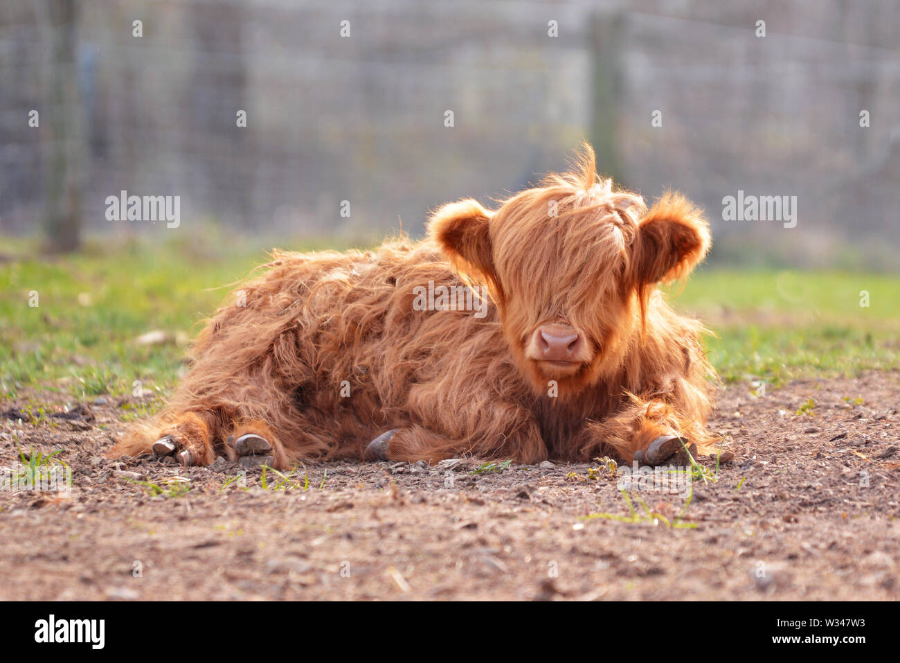 Cute Young Scottish Highland Cattle Calf With Light Brown
