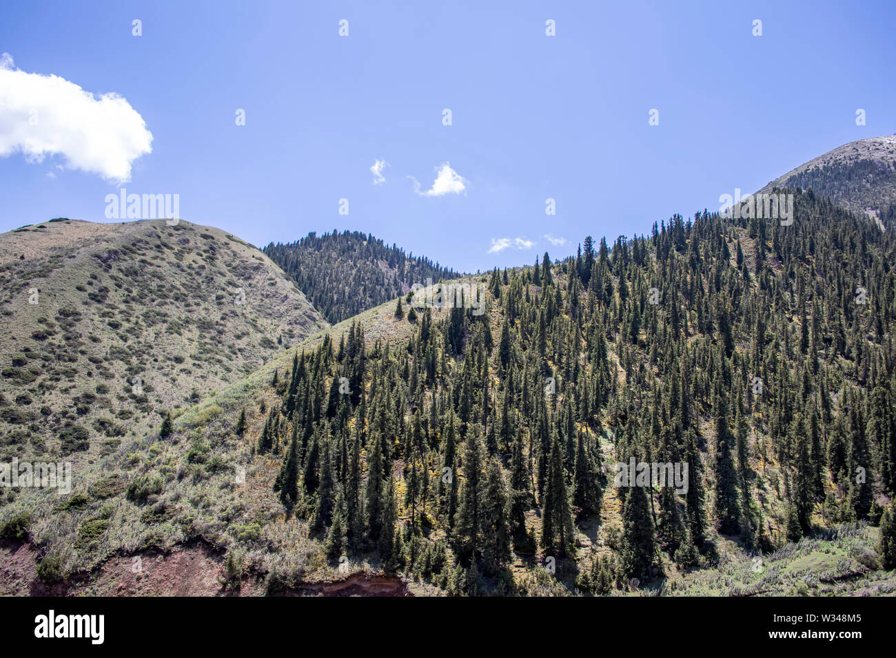 Mountains overgrown with spruce forest. snowy peaks and green pastures. Kyrgyzstan Travel. - Stock Image