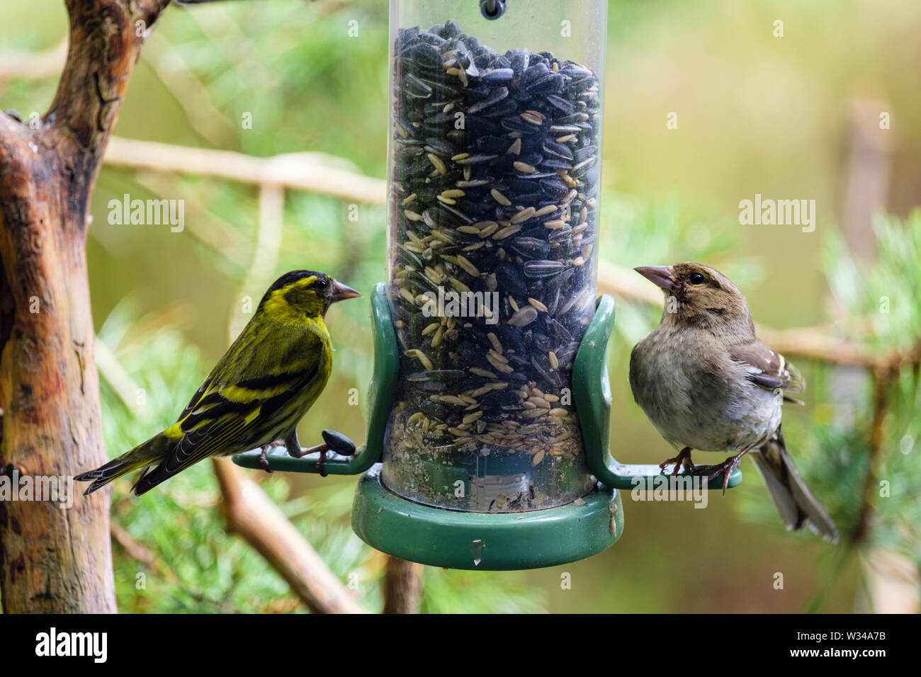 A male Siskin (Carduelis spinus) finch and a female Chaffinch (Fringilla coelebs) on a garden bird seed feeder in a pine forest. Scotland, UK, Britain - Stock Image